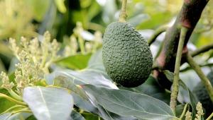 avocado-oil-benefits-1200x680